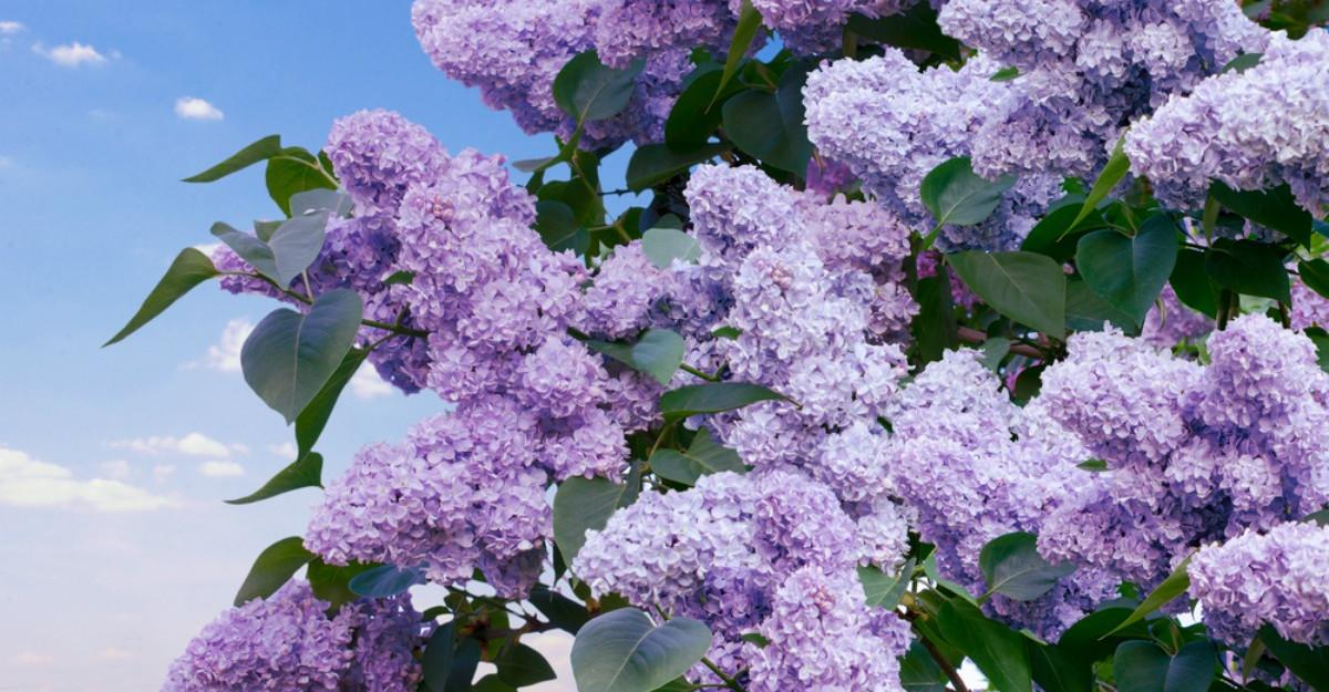 Tot ce nu stiai despre florile de liliac. Beneficii pentru sanatate