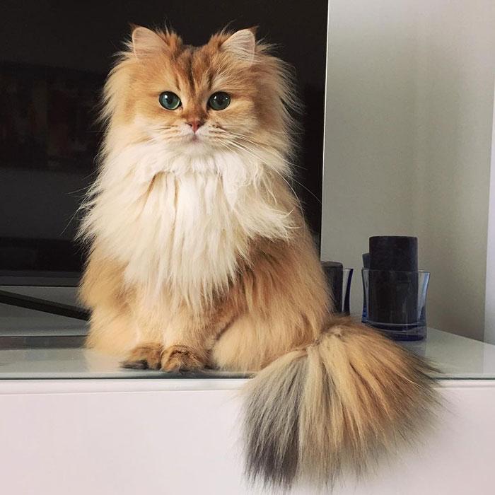 Smoothie, pisicuta rasfatata