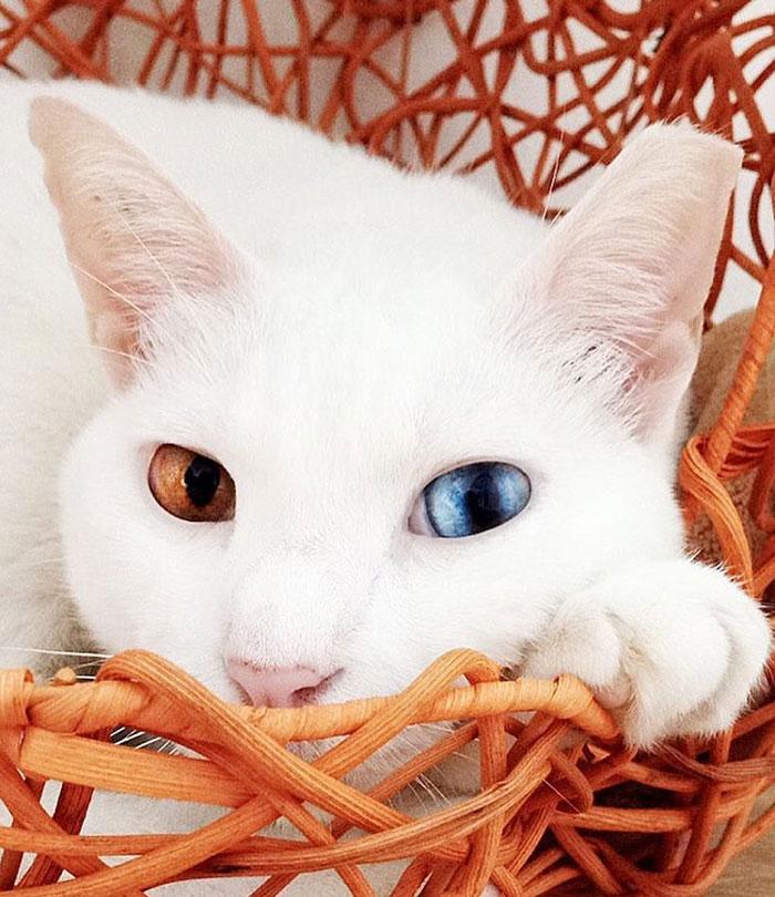 Xiaomao, pisicuta cu ochi in nuante diferite