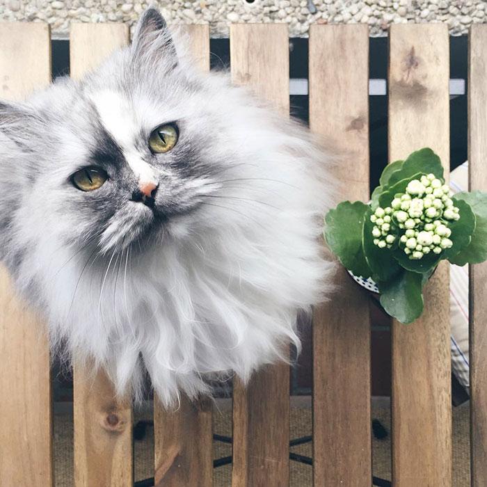 Alice, pufosenia persana