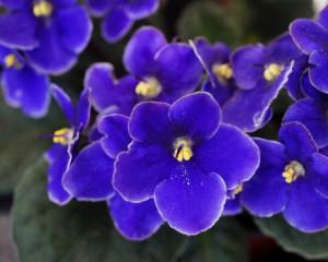 Februarie - Violeta