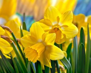 Martie - Narcisa galbena