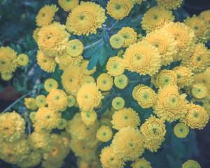 Noiembrie - Crizantema